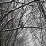 雪 ふくろう